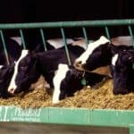 cows eating feed